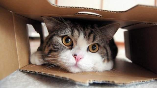 Кот Мару . Шотландский прямоухий котик живет в Японии вместе со своей упитанной полосатой подружкой Ханной, ролики о жизни с которой уже собрали более 25 миллионов просмотров на YouTube.