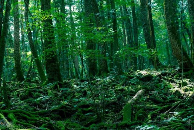 Лес самоубийц, Япония. Лес Аокигахара Дзюкай, расположенный на острове Хонсю считается вторым по популярности местом в мире для сведения счетов с жизнью.