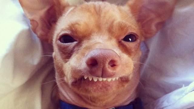 Неправильный прикус песика делает его очень запоминающимся. В Instagram у Тюны уже более 1 900 000 подписчиков.