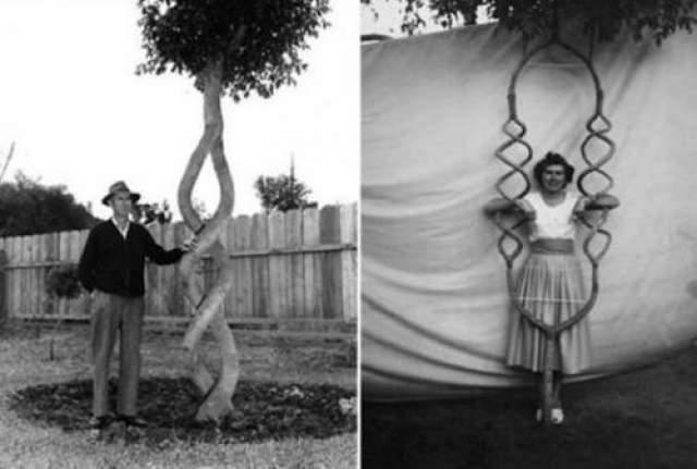 """Вскоре он понял, что его деревья пользуются популярностью, и решил создать """"Tree Circus"""". Эрландсон никому не раскрывал секрета своей технологии, тщательно защищая от шпионов """"Рецепт"""" прививки, которую он делал деревьям."""