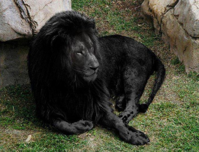 Черный лев. Комментарий, который обычно сопровождает эту фотографию, гласит, что это некая очень редкая генетическая мутация, и что это чуть ли не единственный черный лев на планете.