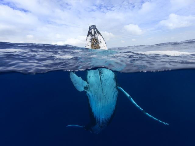 Горбатый кит в Полинезии. Craig Parry