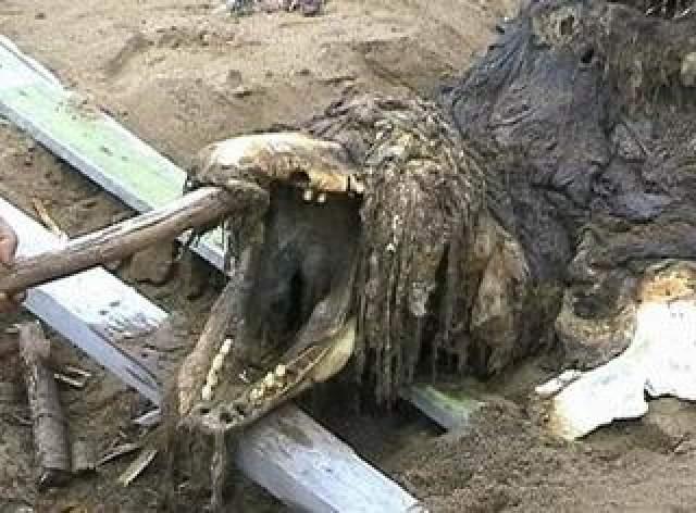 """Уже вскоре ученые-ихтиологи вынесли вердикт - сахалинский """"ископаемый ящер"""" оказался обычной большой касаткой."""