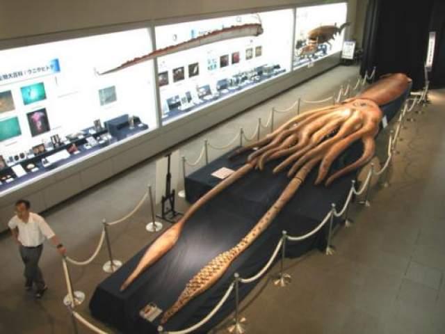Длина щупалец найденного на берегу австралийского города Хобарт кальмара составляла больше 15 метров. Зоологи выяснили, что это самка, выплывшая на мелководье отложить икру, была выброшена на мель. От ранее найденных гигантских кальмаров ее отличали длинные тонкие мешочки мышц, прикрепленные к основанию каждого из восьми щупалец. Это находка стала третьей в Тасмании. На фото: Тасманский кальмар в музее