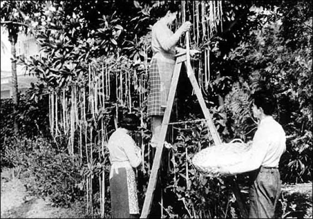 Cпагетти на деревьях. 1 апреля 1957 года на BBC в передаче Panorama вышел сюжет, в котором рассказывалось об урожае спагетти в Швейцарии. Фермеры собирали их прямо с деревьев.