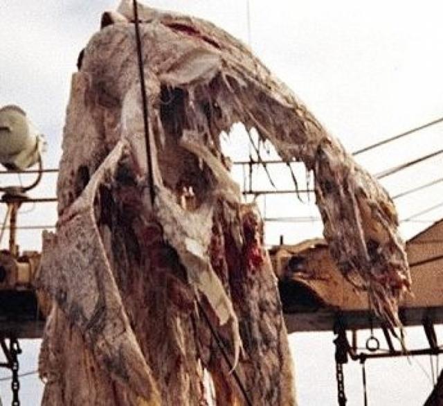 Тринадцатиметровое разлоджившееся тело весило две тонны. При жизни у существа было четыре конечности, длинный хвост и маленькая головка на тонкой шее.