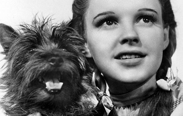 Терьер Терри. Пожалуй, самая известная четвероногая звезда классического Голливуда, на счету которой два десятка ролей.