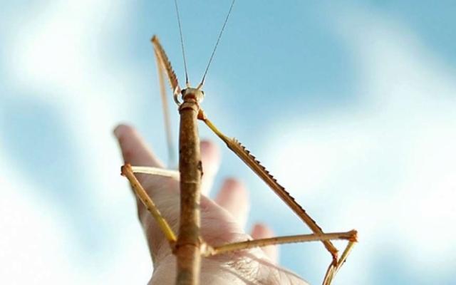 У насекомого огромные конечности и длина тела как у трехмесячного ребенка- 62,4 см. Палочника нашел ученый Чжао Ли, искавший насекомых высоко в горах.