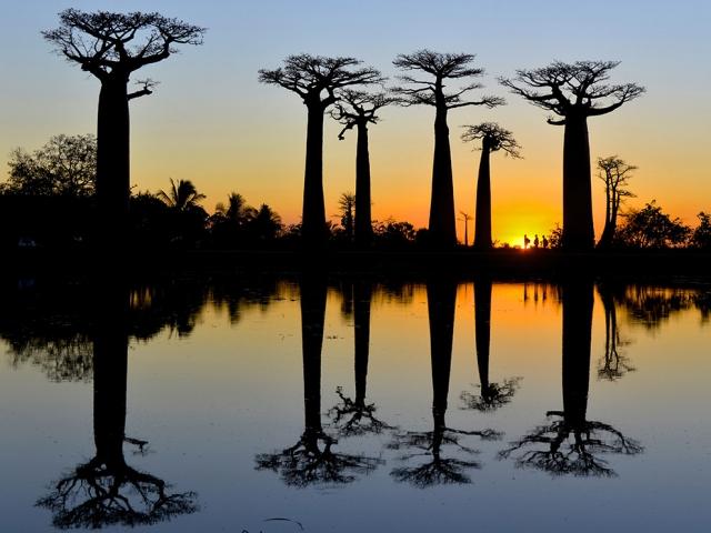 Баобабы на Мадагаскаре. Talia Friedman