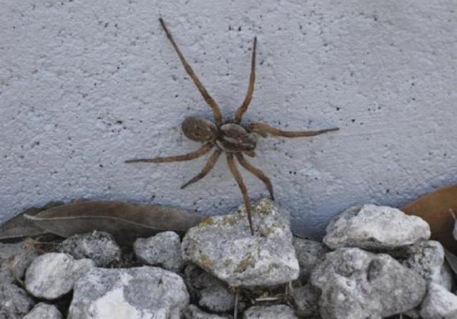 """Самый крупный из найденный пауков был размеров с ладонь взрослого человека. А вот и оригинальное фото этого """"гиганта""""."""