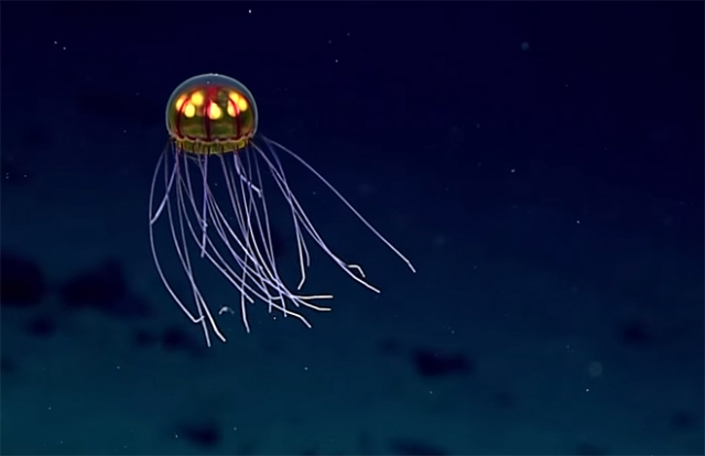 Фантастическую медузу сняли на видео во время погружения на 3 700 метров.