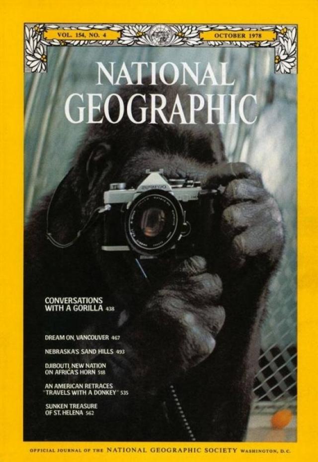 """National Geographic, октябрь 1978. """"Разговоры с гориллой"""" - это материал о горилле Коко, которая фотографирует свое отражение в зеркале. Физиолог Франсин Паттерсон учила Коко языку жестов на протяжении 6 лет."""