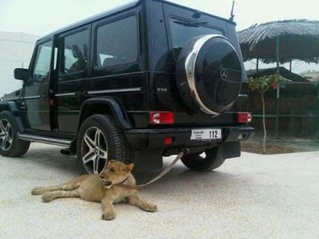 Он плавит со львами в бассейне, выгуливает гепардов на своем газоне и позволяет своим питомцам топтаться по дорогим авто.