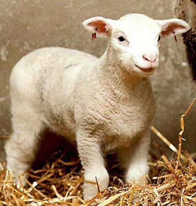"""Овца Долли. """"Отцами"""" овечки Долли стали двое шотландских биологов: Ян Вилмут и Кейт Кэмпбелл."""