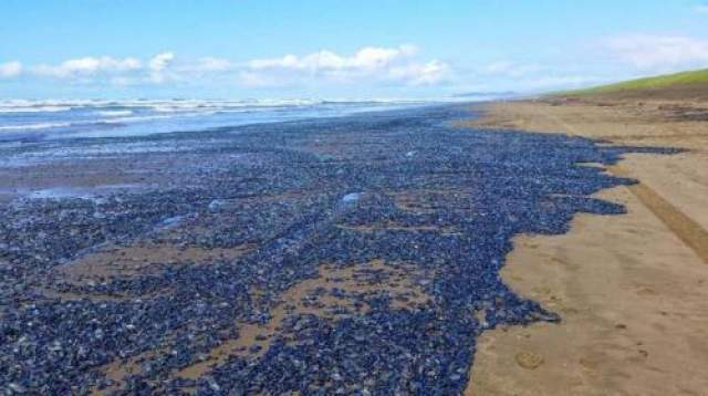 """Велелла (парусница) Это не фотошоп, а реальная фотография побережья Южного Уэльса (Великобритания) в 2004 году, на которой мы видим массу выброшенных на берег голубых моллюскообразных созданий, которых называют """"парусницами""""."""