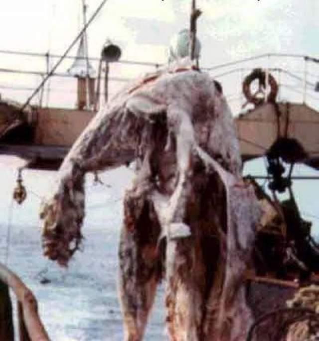 """В апреле 1977 года весь мир обошло сенсационное сообщение о находке японских рыбаков с траулера """"Цуйо Мару"""". При промысле скумбрии вблизи Новой Зеландии сеть принесла полуразложившийся труп неизвестного животного. Состояние находки было плачевным. Тринадцатиметровая туша, массой около двух тонн, распространяла зловоние. Рыбаки различили бесформенное туловище с четырьмя конечностями ( не то плавниками, не то ластами). Длинный хвост и маленькую головку на тонкой шее. Добычу измерили, сфотографировали, а затем ее пришлось выбросить за борт."""