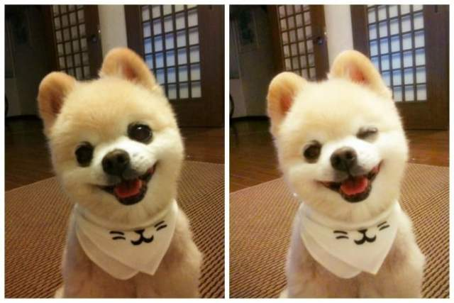 Шунсуке - японская интернет-звезда, который стал знаменитостью еще в 2009 году, когда его владелица впервые опубликовала фото померанского шпица, похожего на плюшевую игрушку.