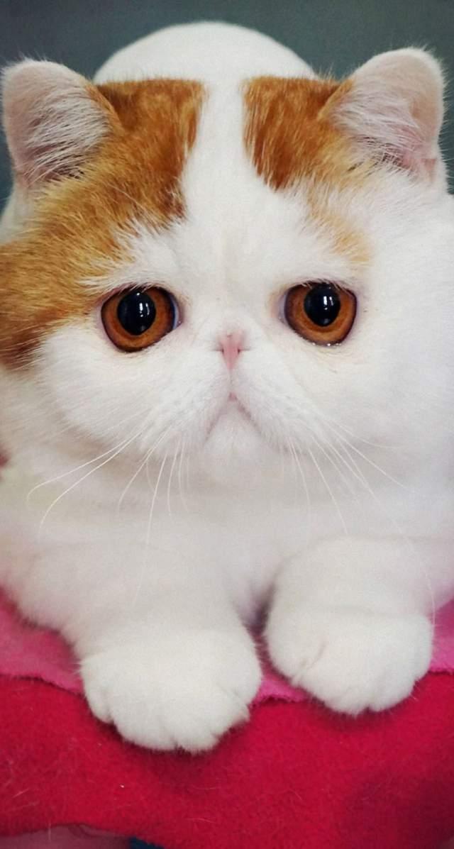 Кот Снупи. Малыш из Китая больше напоминает плюшевую игрушку, нежели настоящего котика, а все благодаря необычной помеси генов персидского кота и трехцветной кошки.
