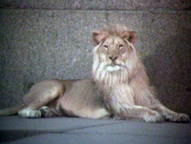 Лев Кинг. Кинг, пожалуй, самый известный лев Советского Союза: он стал популярен еще до съемок, поскольку с первых месяцев он жил в обычной семье (причем не дрессировщиков) в квартире в Баку.