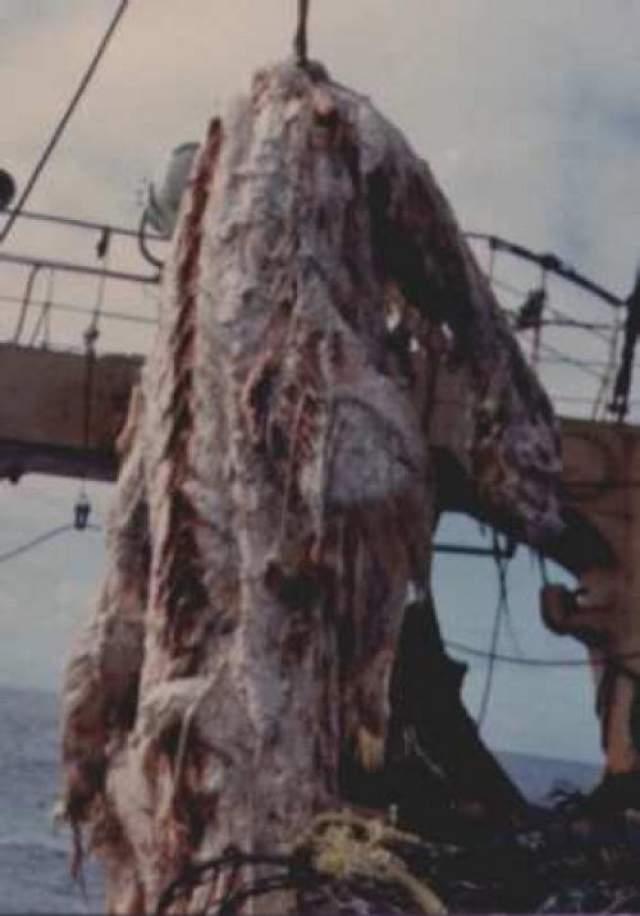 Это была туша длинной 10 метров, у нее было 4 больших красных плавника и 2-метровый хвост. Хотя члены команды были убеждены в том, что нашли какой-то новый вид, капитан траулера принял решение сбросить тушу обратно в воду, чтобы не остаться без основного улова.