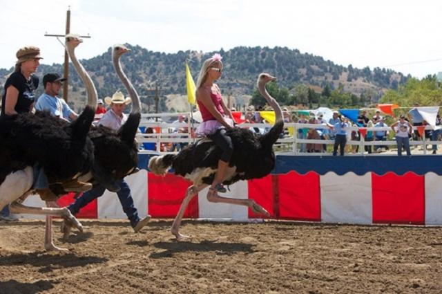 Гонки на страусах. Этот вид спорта уже не такой уж редкий. На многих страусиных фермах за определенную плату вы можете прокатиться верхом на птице. А поучаствовать в соревнованиях можно, например, в Неваде, США.