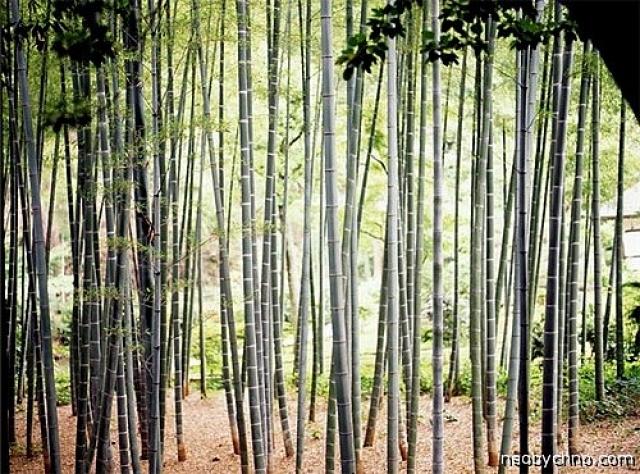 """Пытка бамбуком. Легендарный способ китайской казни, основанный на свойстве бамбука за день вырастать на целый метр. Кончики растущего бамбука затачивались ножом, чтобы получились своеобразные """"копья""""."""