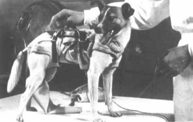 Собака Лайка. Полет состоялся 3 ноября 1957 года. Спутник-2 представлял собой конической формы капсулу 4-метровой высоты. Собака Лайка размещалась в отдельном опечатанном отсеке. Еда и вода подавались собаке в виде желе.