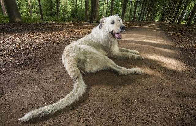 Ирландский волкодав Кеон из Бельгии может похвастаться самым длинным хвостом – 77 см.