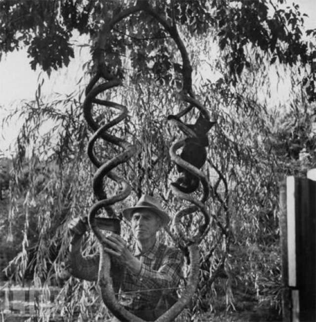 Он экспериментировал с березами, ясенями, вязами, плакучими ивами, создавая из их стволов петли, сердца, винтовые лестницы, зигзаги, кольца, клетки для птиц, башни.