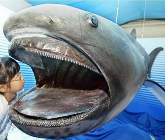 Как вид ее открыли в 1976 году, когда одна такая акула случайно зацепилась за якорь военного корабля на Гавайях. К августу 2015 года было обнаружено всего 102 особи, из которых лишь немногих удалось научно исследовать.