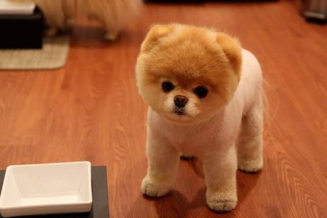 Шпиц Бу - самая популярная собака Facebook.