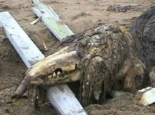 """Поразившая рыбаков """"густая шерсть"""" животного оказалась налипшим в огромном количестве водорослями, а ща """"крокодилью морду"""" они приняли сплющенный от удара о камни и обнажившейся череп."""