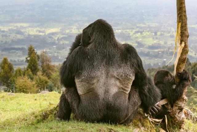 """2-е место в категории """"Экология и энвироника"""" Гориллы в Руанде, вулканический национальный парк"""
