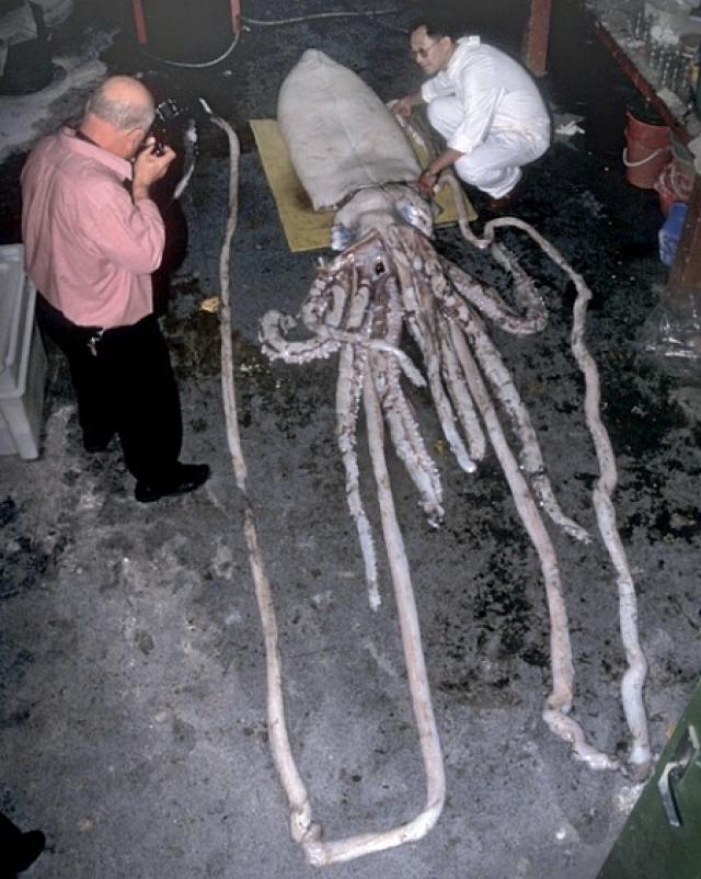 Чудовище с щупальцами длиннее 15 метров выбросило на берег Тасмании. Вес существа составил более четверти тонны.