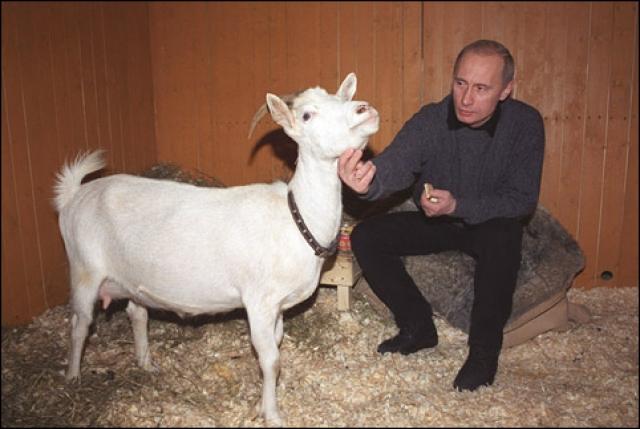 ...коза Сказка и ее козленок…