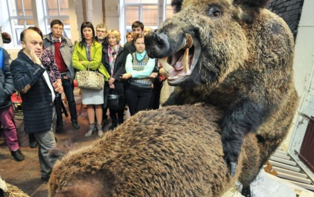 Еще задолго до открытия экспозиция стала довольно скандальной. На ней представлены два десятка чучел зверей и птиц – совокупляющихся бобров, медведей, лисиц, кабанов, глухарей и тетеревов.