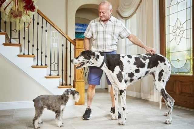 Лиззи из Флориды является самой высокой собакой, достигая 96,4 см в высоту.