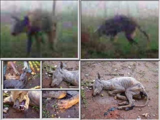 Очевидцы утверждают, что полутораметровое существо ходит на задних лапах и чем-то напоминает рептилию или динозавра. На ногах у него всего по три пальца, так что следы остаются как после цыпленка, только гораздо больше и с углублениями от когтей. На морде явно просматриваются черты бабуина, а огромные красные глаза точь-в-точь такие как у изображенных на картинках инопланетян.