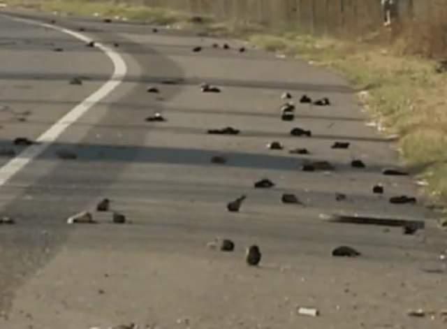 А в Арканзасе дождит мертвыми птицами Жители маленького города в Арканзасе засвидетельствовали поистине жуткое зрелище в 2012 году, когда около пяти тысяч дроздов замертво упали с неба в первых часах нового года.