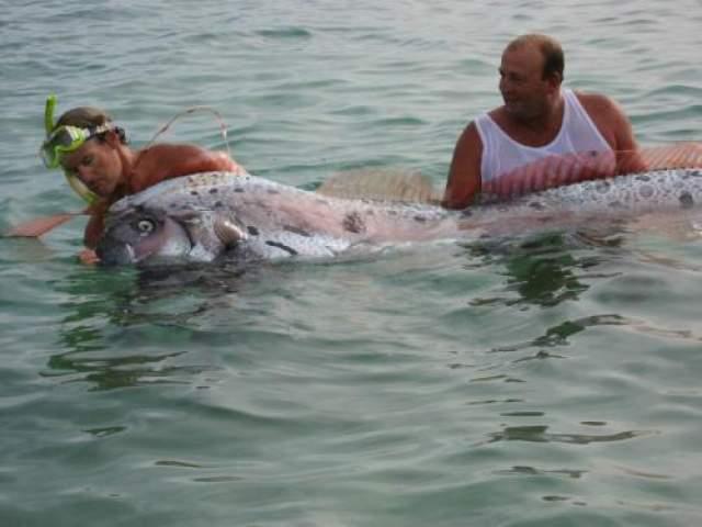 Одна из выброшенных на берег рыбин была длинной аж 5,5 метров, и понадобилась сила 15 человек, чтобы поднять и оттащить ее. Морские биологи полагают, что этих гигантов (которые являются не очень хорошими пловцами) могло прибить к берегу сильным течением. Они потеряли ориентацию и не смогли выплыть из течения, вернуться обратно в море.