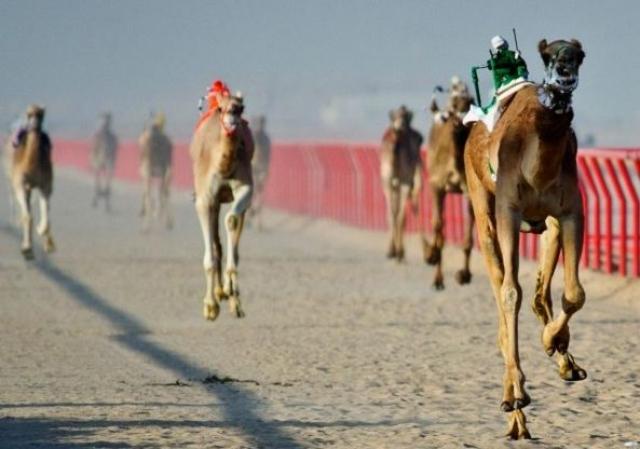 3. Роботы-наездники. Необычные роботы используются для управления верблюдами, придя на смену реальным наездникам.
