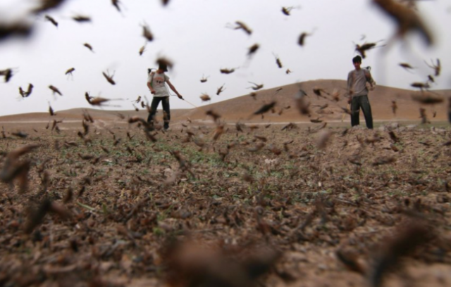 """""""Восьмая казнь египетская"""". Нашествие полчищ марокканской саранчи, способной уничтожить на корню посевы и плоды сельскохозяйственных культур, произошло в Аргентине в 2016 году."""