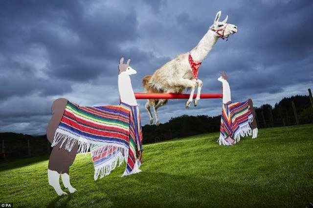 9-летняя прыгающая лама Каспа, живущая на севере Уэльса перепрыгнула через барьер высотой 1,13 метров. Лама научилась прыгать, глядя на собак, которые перескакивали через барьер на ферме хозяйки.