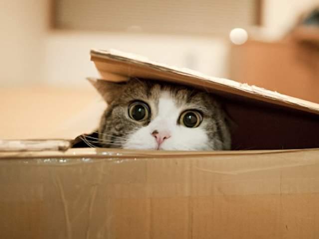 """Мару отличается необычайной страстью к коробкам, пытаясь залезть в картонное укрытие любых размеров. У него есть свой блог и даже выпущена книга """"I'mMaru""""."""