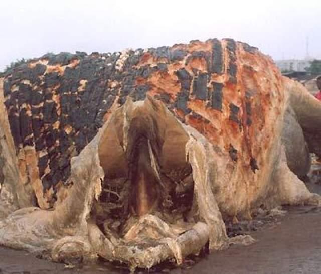 На побережье Гвинеи в западной Африке на отмели также обнаружили огромное неизвестное животное.