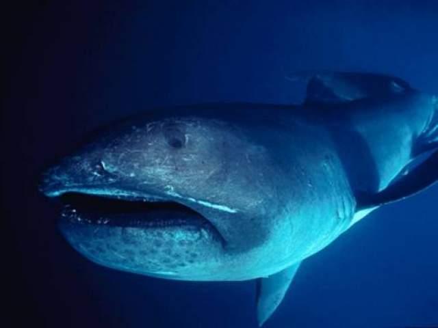 Об анатомии, поведении и ареале этой акулы пока известно очень мало. В общем, вполне себе загадочный монстр из морских глубин.