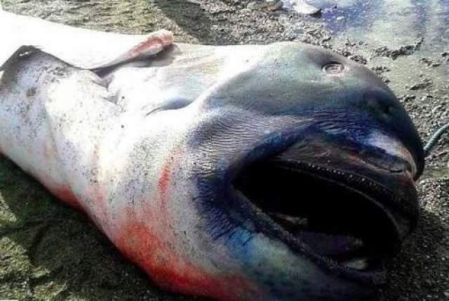 Большеротая акула В январе 2015 года филиппинские рыбаки были порядком напуганы, обнаружив это создание длиной 4,5 метра. Странное чудовище оказалось большеротой акулой - глубоководной акулой-долгожителем, которая может дожить до ста лет, но которую редко можно встретить.
