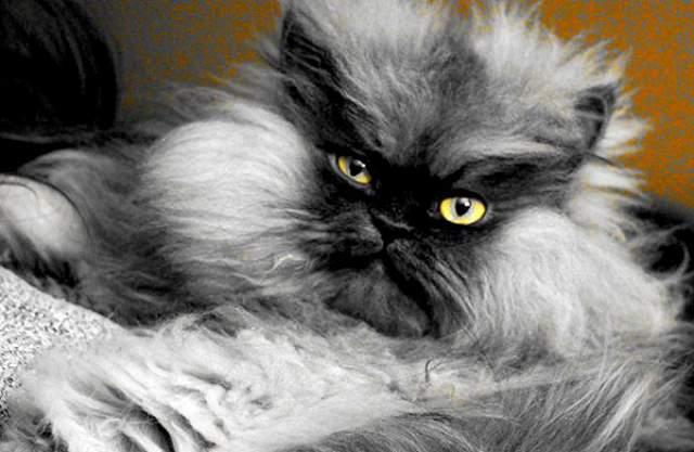 """Полковник Мяу. Гималайский кот, известный в Сети как """"обожаемый всеми пушистый диктатор"""", скончался после болезни в 2014 году, но до сих пор остается звездой Интернета."""