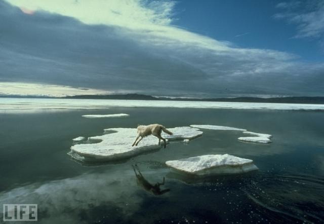 Прыжок одинокого волка (A Wolf's Lonely Leap, Jim Brandenburg, 1986). Полярный волк борется за выживание на севере Канады.
