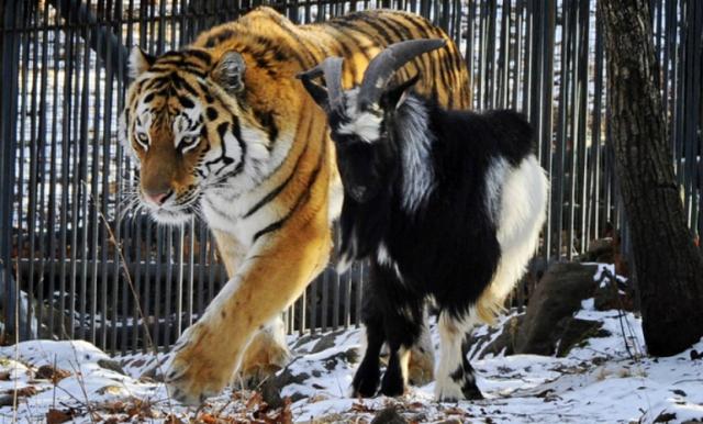 46. Любовь тигра и козла. Тимур и Амур. В Приморском сафари-парке тигр Амур ко всеобщему удивлению не загрыз запущенного к нему на съедение козла Тимура. И даже с ним подружился. За любовью тигра и козла, которая продолжается до сих пор, следят тысячи людей по веб-трансляции.